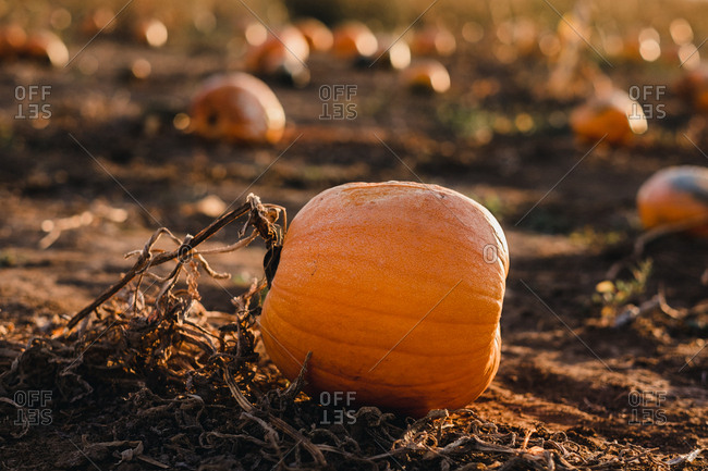 pumpkin on a vine in pumpkin field