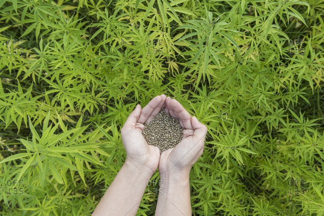 Hands holding seeds of hemp in hemp plantation