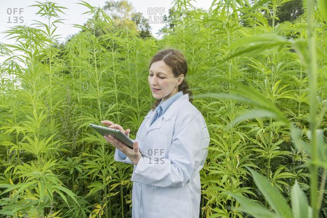 Scientist using tablet in a hemp plantation