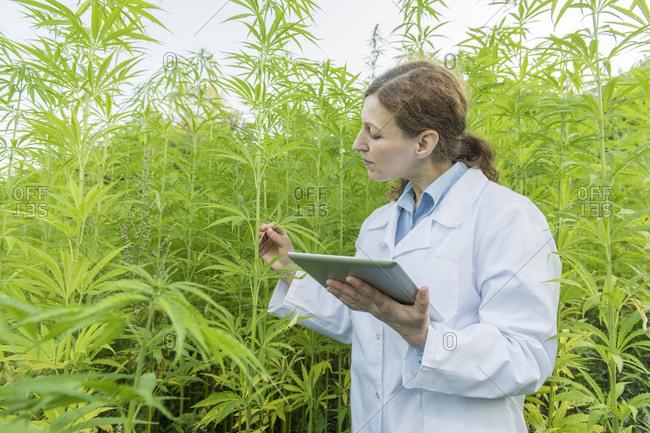 Scientist with tablet examining plants in a hemp plantation