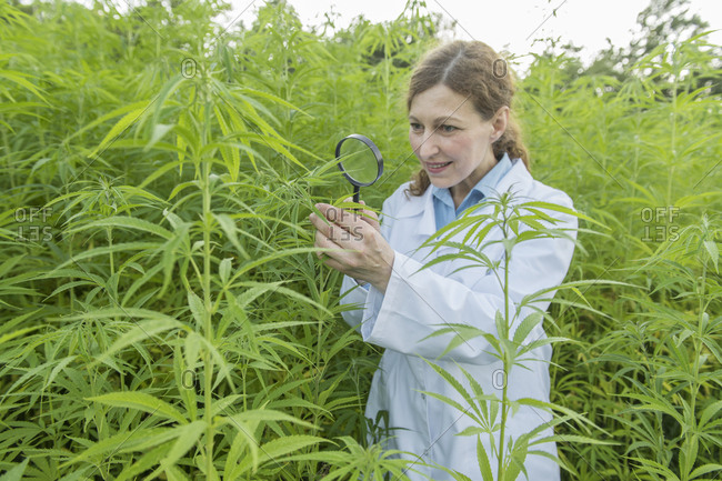Scientist with magnifying glass examining hemp plant in a hemp plantation