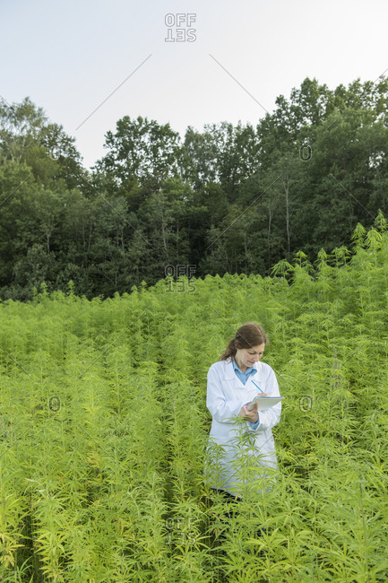 Scientist taking notes in a hemp plantation