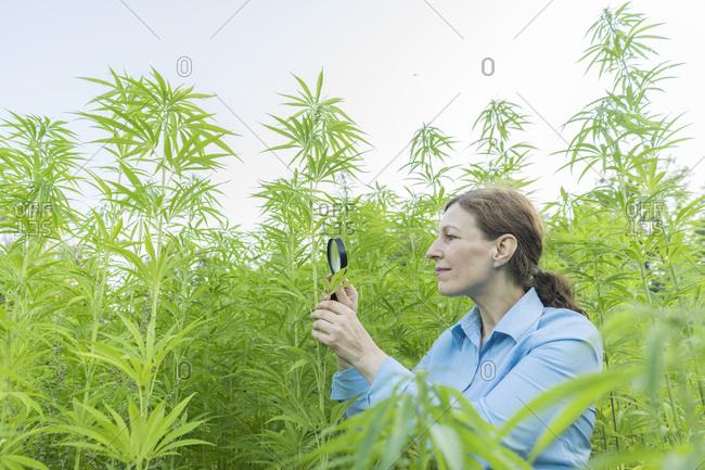Woman with magnifying glass examining hemp plant in a hemp plantation
