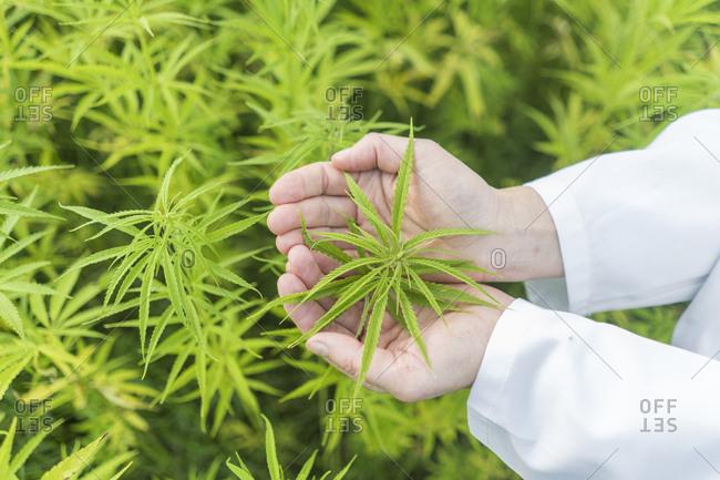 Female hands holding hemp plant in hemp plantation