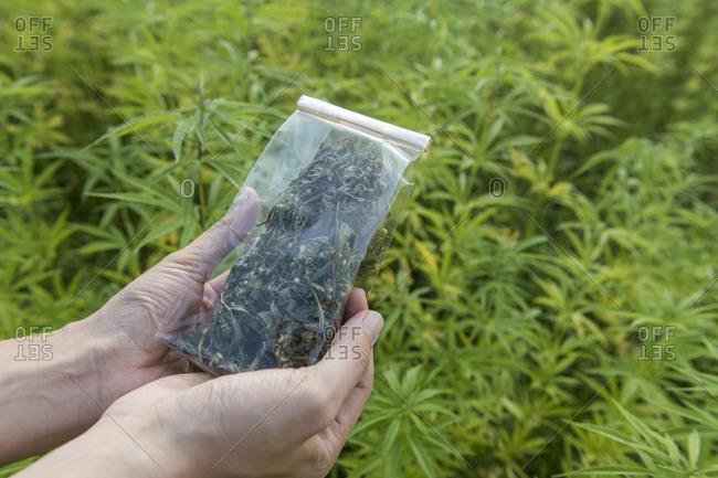 Female hands holding plastic bag of hemp tea in a hemp plantation