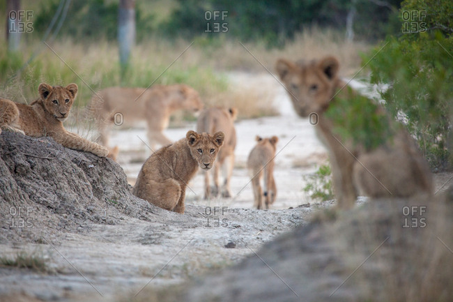 Lion cubs, Panthera leo, sit in gray sand, direct gaze