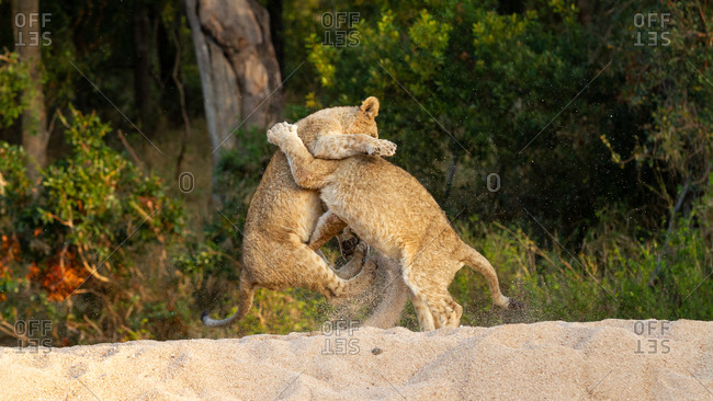 Two lion cubs, Panthera leo, play together and wrestle on their hind legs