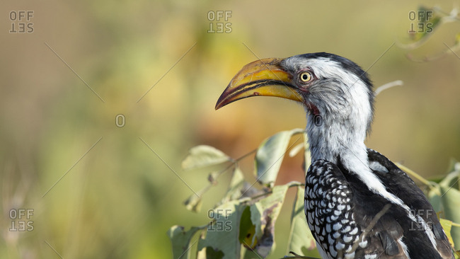 A yellow-billed hornbill, Tockus leucomelas, perches in a tree, side profile, blurred background