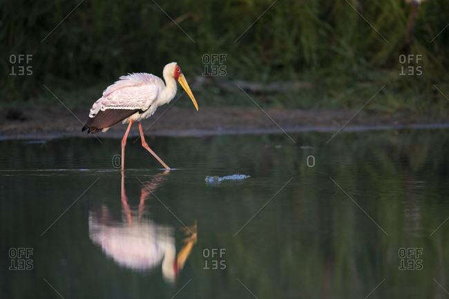 A yellow-billed stork, Mycteria ibis, walks through water showing its reflection, leg raised, side profile