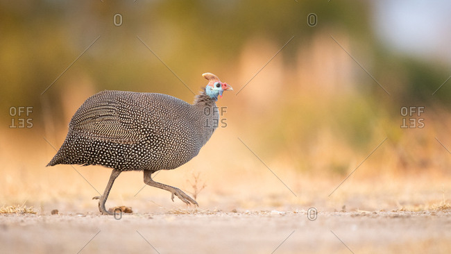 A helmeted guineafowl, Numida meleagris, walks across a road, side profile, looking out of frame, front leg raised
