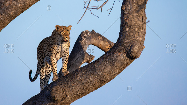 A male leopard, Panthera pardus, stands on the branch of a tree, looking out of frame, sky blue background