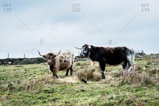 Two Highland cattle standing on a pasture.