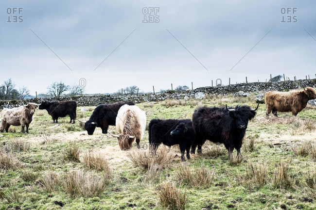 Herd of Highland cattle grazing on a pasture.