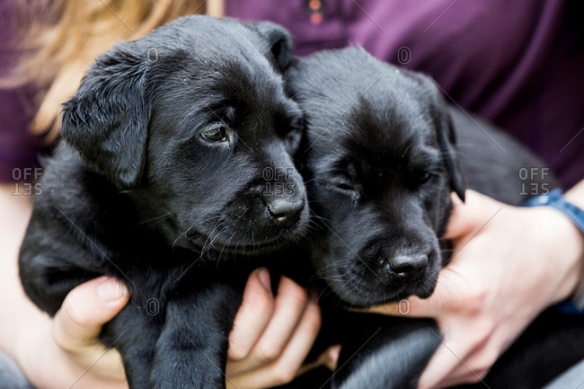 Close up of person holding two Black Labrador puppies.