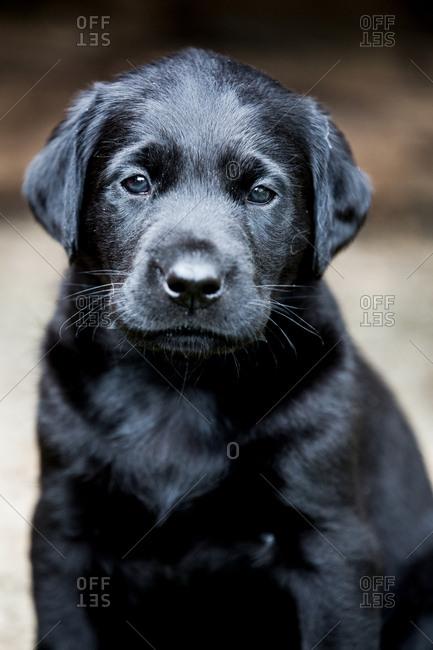 Black Labrador puppy looking at camera.