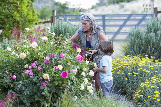 A senior adult, grandmother and her 5 year old grandson pruning roses in her garden