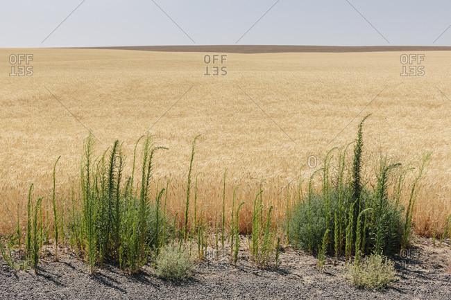 Field of summer wheat, weeds growing in foreground, Whitman County, Palouse, Washington, USA.