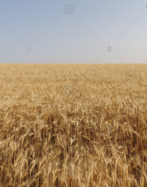 Field of wheat in summer, horizon and sky in distance, Whitman County, Palouse, Washington, USA.
