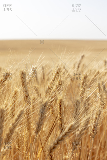 Close up of summer wheat field, Whitman County, Palouse, Washington, USA.