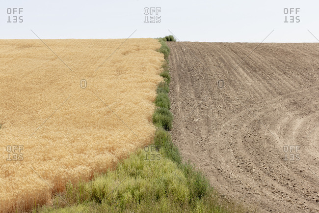 Summer wheat field divided by weeds and harvest half, Whitman County, Palouse, Washington.