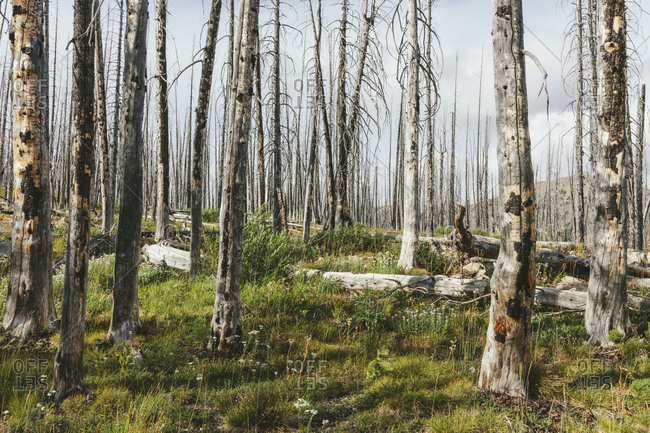 A previously burnt subalpine forest rebounds in summer with lodgepole pine and a variety of wildflowers, yarrow, aster, arnica and corn lily.