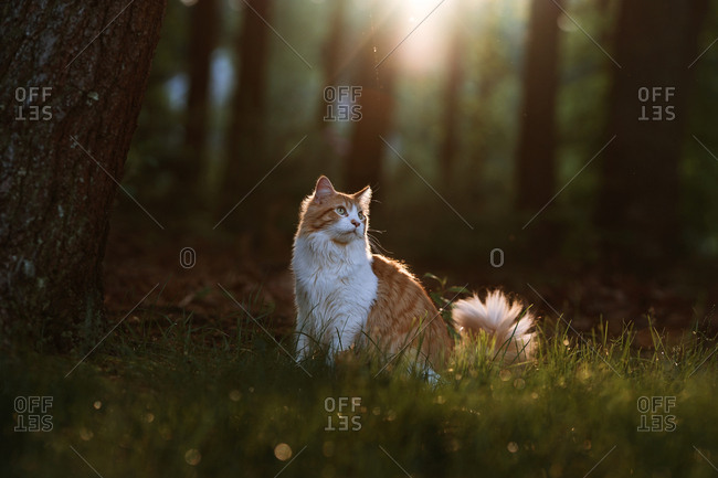 Fluffy orange and white cat in the woods under golden light