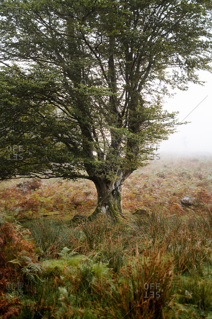 Beautiful beech tree on a foggy hill full of green and brown fern