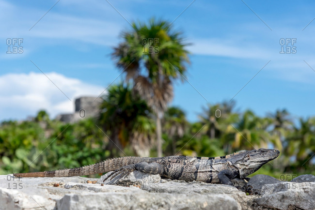Huge lizard resting on a rock in the jungle, Yucatan, Mexico
