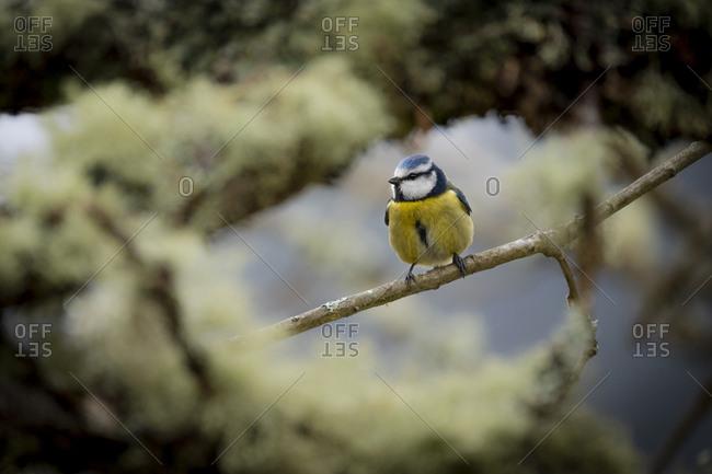 Blue tit on a tree, Asturias, Spain