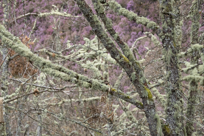 Trees covered with lichen, Asturias, Spain