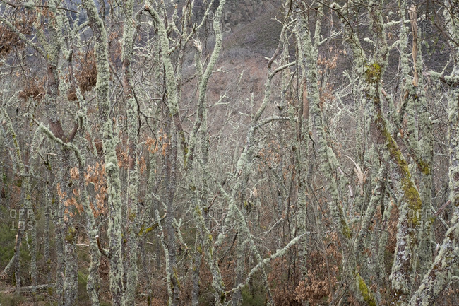 Bare trees covered with lichen, Asturias, Spain