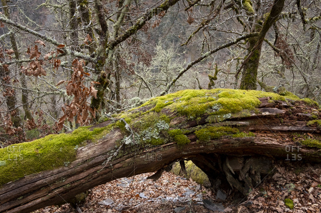 Moss covered trees in the Muniellos Natural Reserve in Asturias, Spain