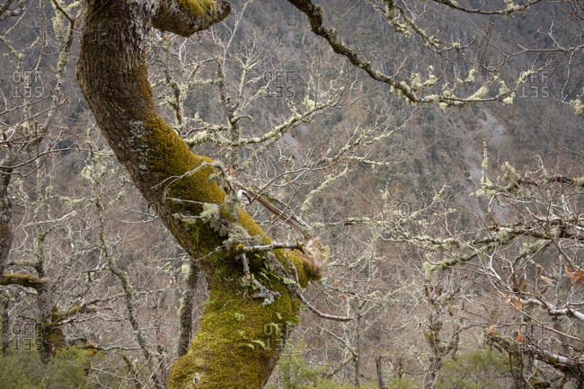 Mossy trees in the forest of Muniellos Natural Reserve, Asturias, Spain