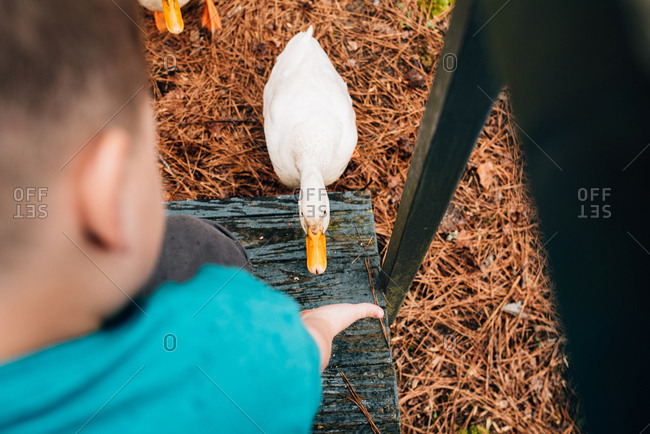 Boy reaching hand out towards a duck
