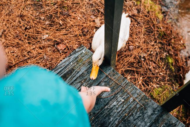 Boy reaching hand out towards a pekin duck