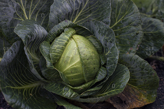 Large cabbage head growing in garden
