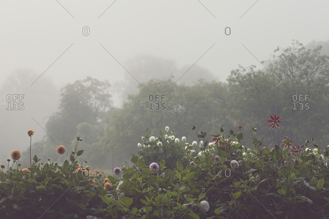 Dahlia flowers in lush garden in morning fog