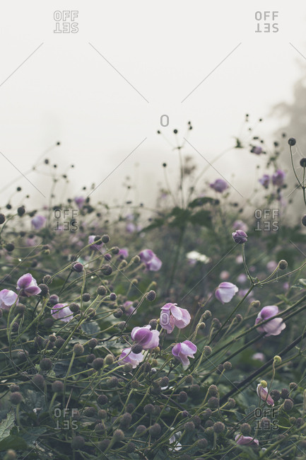 Pink flowers in morning fog