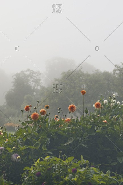 Dahlia flowers in lush garden with morning fog