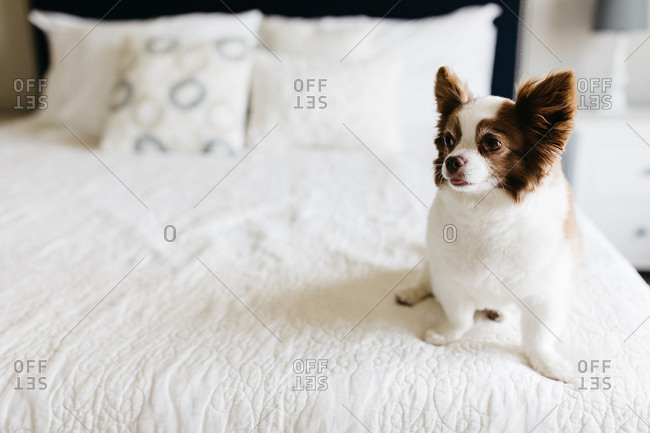 Small fluffy brown and white dog sitting on bed