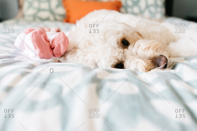 Fluffy white dog lying on bed by baby