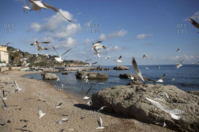 Flock of seagulls in search of food on the beach of Giardini di Naxos, Sicily, Italy