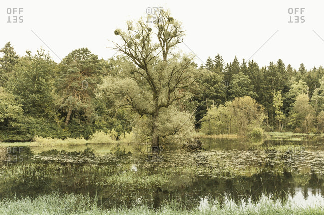 Baum in einem See, Moorszene