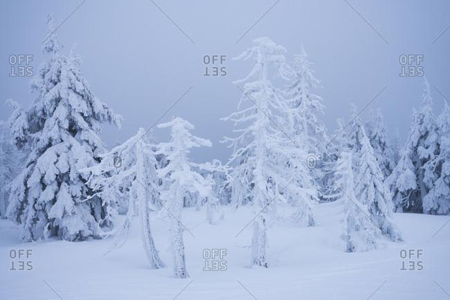 eingefrorene Bume am Brocken, Harz, Schierke, Deutschland