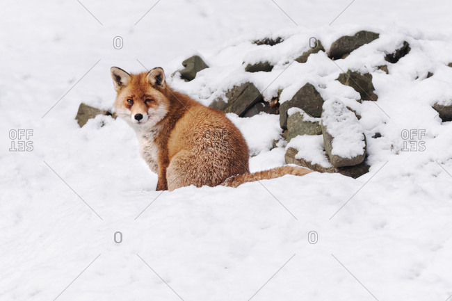 Fox in the Harz, Wernigerode, Germany