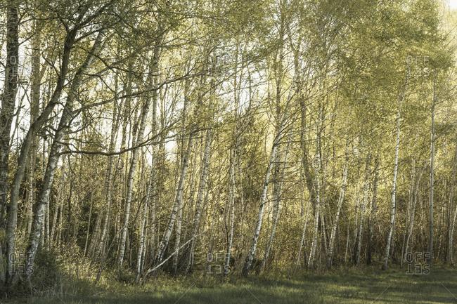 Das morgendliche Sonnenlicht scheint durch eine Reihe Birken,