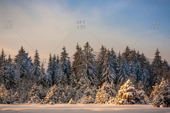 Waldrand, schneebedeckte Fichten und Tannen,
