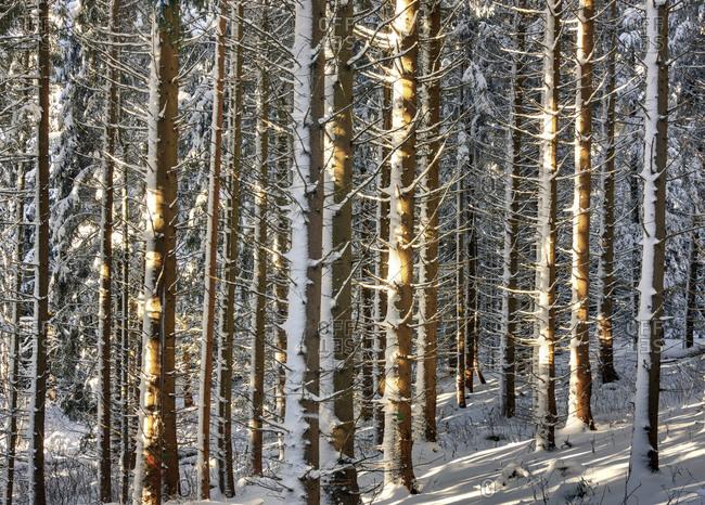 Deutschland, Thringen, Gehren, Wald, Bume, Schnee