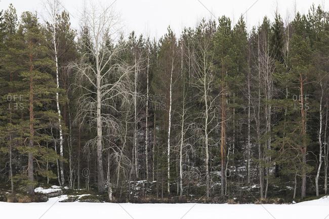 Finnland, verschiedene Bume am Waldrand, Espen, Kiefern, Birken