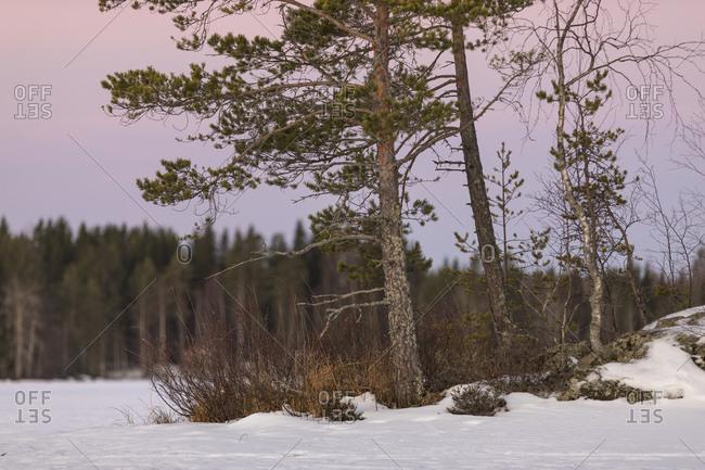 Finnland, Morgenstimmung mit Kiefer, Schnee und Mond
